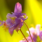 May Aquilegia .. by Mike  Waldron