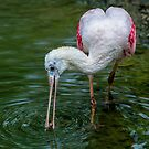 Feeding Spoonbill by Daniel  Parent