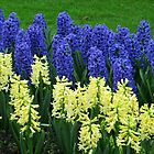 Hyacinths Yellow and Blue - Keukenhof Gardens by Kathryn Jones