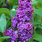 lilac by Jeanette Muhr