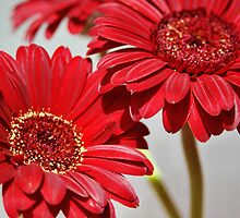 Three red Gerberas by KUJO-Photo