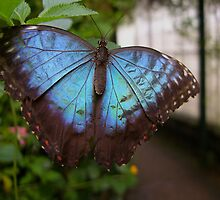 Blue Butterfly by KUJO-Photo