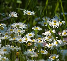 Lawn Daisy - Bellis Perennis by Megan Noble
