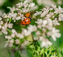 Lady Bugs on White Flowers by msqrd2