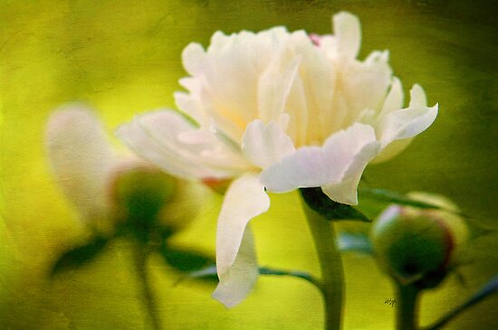 Textured Peony by Lois  Bryan