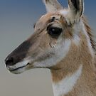 Pronghorn by Mully410
