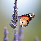 Amongst the Lavender by Bill  Robinson