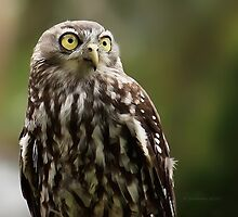 Barking owl by bluetaipan