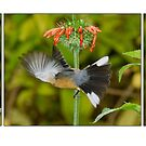 Eastern Spinebill Triptych by Barb Leopold