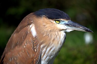 Night Heron  by Angie66