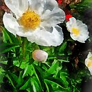Two White Poppies by Susan Savad