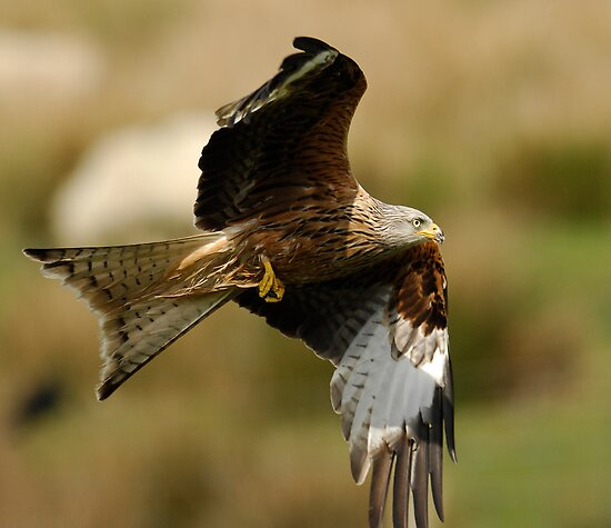 Red Kite by Jonathan Goddard