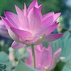Pinky Lotus by Rainy