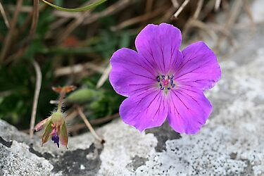 Bloody Crane's-Bill by Fiona Byrne