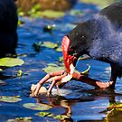 Feeding Red Billed Coot Bird by Ryan Jorgensen