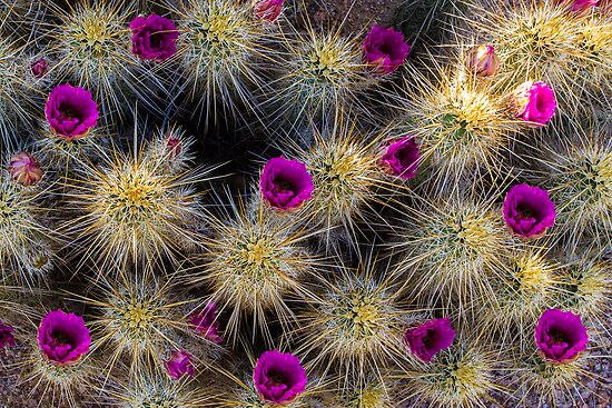 Don't Pick the Flowers (Hedge Hog Cactus Flower) by BGSPhoto
