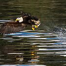 Hunting Bald Eagle by Gina Ruttle  (Whalegeek)