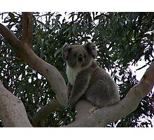 Koala at Kingsvue Photographic Print