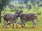 Zebra buddies by Dan MacKenzie