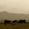 Landscape with Cows in Sepia  by Corri Gryting Gutzman