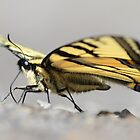 Yellow Swallowtail by Jeannine St-Amour