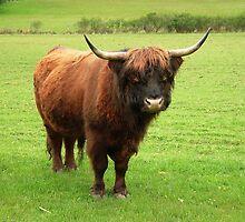 Highland Bull by AnnDixon