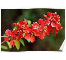 Japanese Quince branch Poster