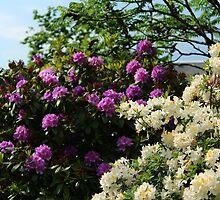 Rhododendron & Azalea by karina5