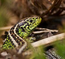 Male Sand Lizard by Neil Bygrave (NATURELENS)