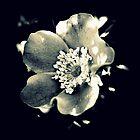 Wild Rose 3 by karolina