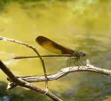 AMERICAN RUBYSPOT on Econfina Creek by May Lattanzio