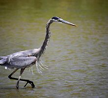 Blue Heron on the Hunt by Saija  Lehtonen