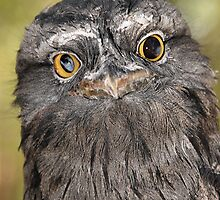 Tawny Frogmouth Portrait by Carole-Anne