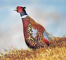 Pheasant by MrMild