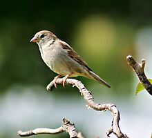 House Sparrow by AngieBanta
