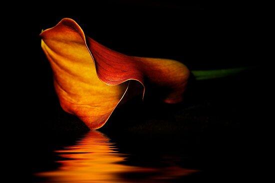 Calla Lilly by fernblacker