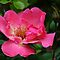 Cornish Rose by lynn carter