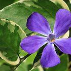 Vinca Major Flower and Variegated Foliage by Kenneth Keifer