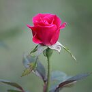 New Rose by Bob Hardy