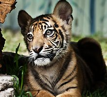 Tiger Cub by Ian  Clark
