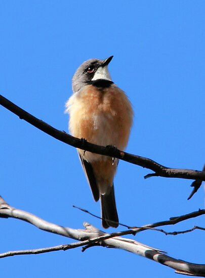 Rufous Whistler (male) by mosaicavenues