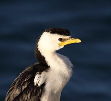 Little Pied Cormorant ... Up Close by mosaicavenues