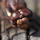 Dragonfly Closeup by Dennis Stewart