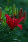 Early Dawn Lily by Eileen McVey