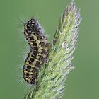 5 Spot Burnett moth caterpillar   by Stacey  Purkiss