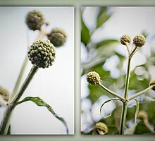 Buds of the Pom Pom Buddleia by missmoneypenny