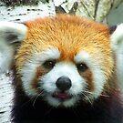 Red Panda 1 by Larry Kohlruss