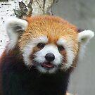 Red Panda 2 by Larry Kohlruss