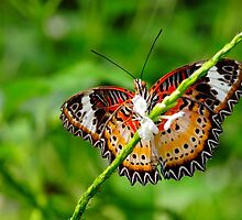 lacewing butterfly by supergold