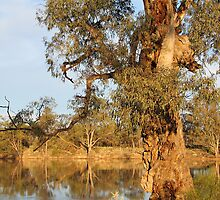 River Red Gum by Carole-Anne